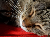 Tabby cat sleeping on the red carpet. A European tabby cat relaxing on the red carpet Royalty Free Stock Photo