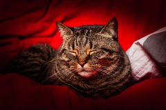 Tabby cat sleeping on red. A sweet tabby cat sleeping on a red cloth. Brindle coat royalty free stock image