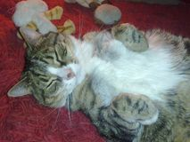 Tabby Cat sleeping. Tabby Cat snuggled on a cold day with his teddy bears Royalty Free Stock Photo
