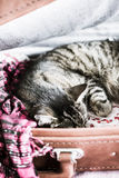 Tabby cat sleeping in a suitcase - vertical. Royalty Free Stock Photography