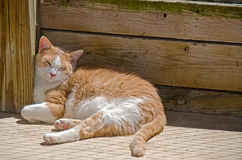 Tabby cat sleeping in the sun. Gold and white tabby tom cat napping in the sunshine Royalty Free Stock Photography