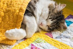 Tabby cat sleeping under yellow quilt cover royalty free stock photo