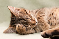 Tabby cat sleeps Stock Photo