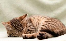 Tabby cat sleeps Royalty Free Stock Photo