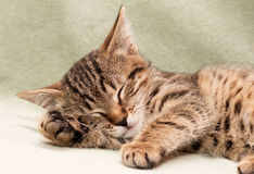 Tabby Cat Sleeps On Bed Royalty Free Stock Image