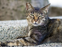 Tabby cat with sleepy face Royalty Free Stock Image