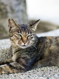 Tabby cat with sleepy face Royalty Free Stock Photography