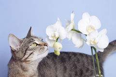 Tabby cat sniffing flowers of white orchids Royalty Free Stock Images