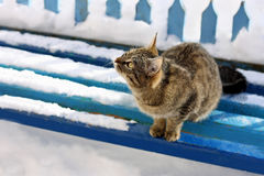 Tabby cat on snow-covered bench. Royalty Free Stock Photo