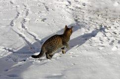 Tabby cat in the snow. Stock Photos