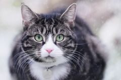 Tabby Cat in Snow. A young male tabby cat is sitting with snow falling around him, staring at the camera with his bright green eyes stock photos