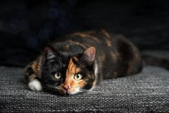 Tabby cat on the sofa looks at the camera. Funny cat lay on the sofa and look atv the camera Stock Photo