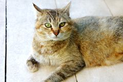 Striped spotted cat looks on the floor royalty free stock photo