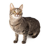 Tabby cat standing on alert Royalty Free Stock Photos