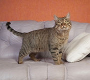 Tabby cat standing on leather couch. Tabby cat standing on lilac leather couch Stock Photos
