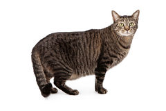 Tabby cat standing and looking at camera Stock Photography