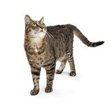 Tabby Cat Standing on White Looking Up Stock Photography
