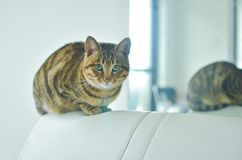 A tabby cat stands on the sofa in the room. There is a cat by the mirror,so quiet stock photography
