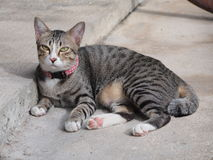 A tabby cat staring to something Royalty Free Stock Photos