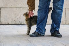 Tabby cat stretching up with arched back as it is petted by person in blue jeans and jacket - only legs and feet of person visable stock photos