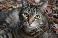 Tabby Cat relaxing in the leaves in the garden stock photo
