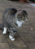 Tabby cat  striped domestic animal Stock Photos