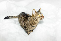 Tabby cat strolling through deep snow in winter Royalty Free Stock Images