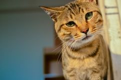 Melancholy cat. Tabby cat in the sun,look at the camera with melancholy royalty free stock images