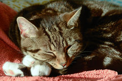 Tabby cat in sun puddle on bed Royalty Free Stock Images