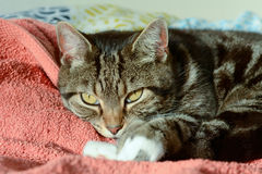 Tabby cat in sun puddle on bed Stock Images