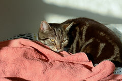Tabby cat in sun puddle on bed Stock Image