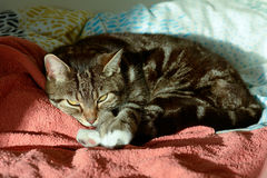 Tabby cat in sun puddle on bed Royalty Free Stock Photo