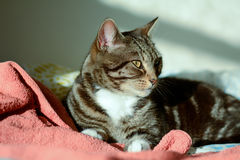 Tabby cat in sun puddle on bed Royalty Free Stock Image