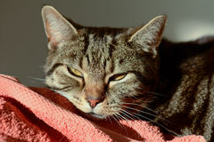 Tabby cat in sun puddle on bed Stock Photography