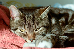 Tabby cat in sun puddle on bed Stock Photos