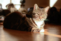 Tabby cat in sun puddle on wooden floor Royalty Free Stock Photo