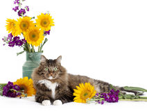 Tabby Cat with Sunflowers Royalty Free Stock Images