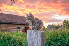 Tabby cat at sunset in the village royalty free stock image