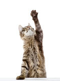 Tabby cat swinging its paw. isolated on white background. Tabby cat swinging its paw royalty free stock photos