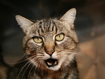 Tabby cat talking Stock Photography