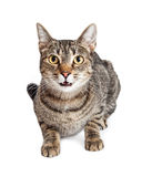 Tabby Cat Talking Looking Forward Stock Images