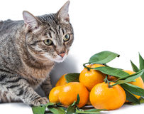 Tabby cat and tangerines Stock Images