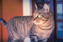 Tabby Cat Thinking bonita imagem de stock