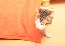 Tabby cat. With three colors - white, brown and black -  hiding behind orange cover and hunting Stock Images