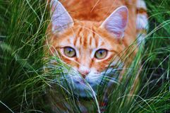 Tabby Cat. Tiger roaming around the garden Stock Images