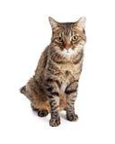 Tabby Cat With Tipped Ear adulta foto de stock