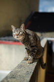 Tabby cat on top of a wall Royalty Free Stock Image
