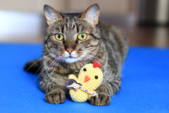 Tabby cat with a toy Royalty Free Stock Photography