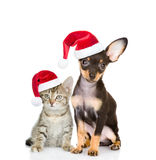 Tabby cat and toy-terrier puppy dog sitting together in red santa hats. isolated on white Royalty Free Stock Photos