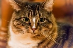 Tabby Cat tricolore lanuginosa divertente spaventata Immagine Stock